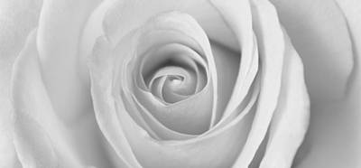 Poster featuring the photograph A Rose Is A Rose Is... by Silke Brubaker