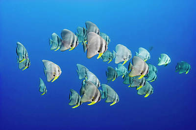 A Small School Of Batfish Swim In Kimbe Poster by David Doubilet
