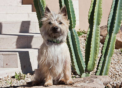 A White Cairn Terrier Sitting Next Poster by Zandria Muench Beraldo