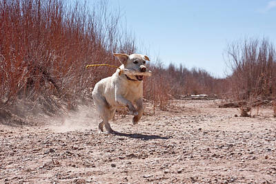 A Yellow Labrador Retriever Running Poster