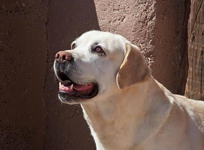 A Yellow Labrador Retriever Standing Poster