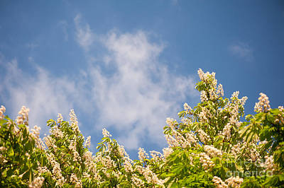 Blossoming Aesculus Tree On Blue Sky  Poster by Arletta Cwalina