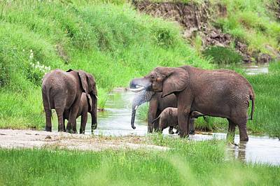 African Elephant Loxodonta Africana Poster by Photostock-israel