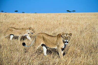 African Lioness Panthera Leo, Serengeti Poster