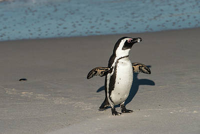 African Penguin (spheniscus Demersus Poster by Pete Oxford