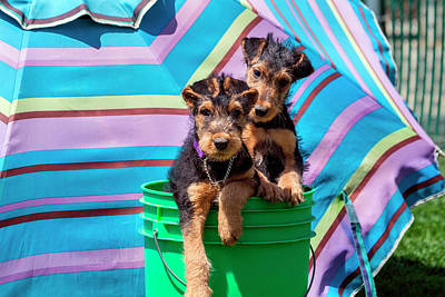 Airedale Puppies In A Green Bucket (mr Poster