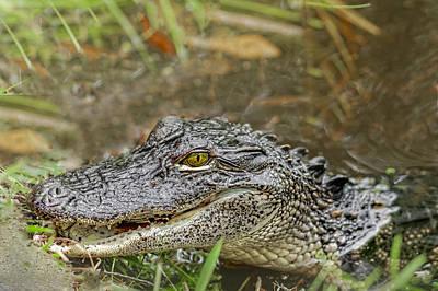 Alligator Poster by Peter Lakomy