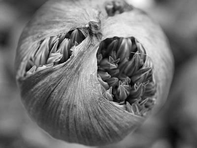 Poster featuring the photograph Allium Bud by Inge Riis McDonald