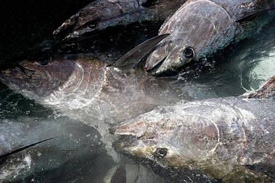 Almadraba Tuna Fishing Poster