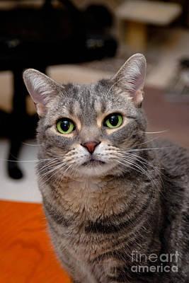 American Shorthair Cat Portrait Poster
