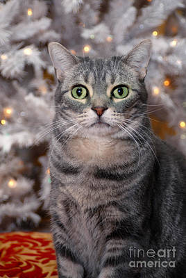American Shorthair Cat With Holiday Tree Poster