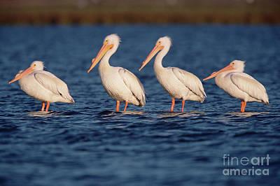 American White Pelicans  Poster by Yva Momatiuk John Eastcott