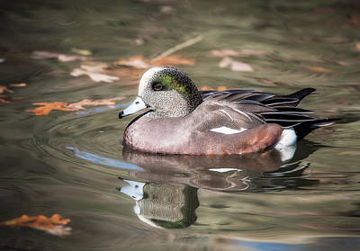 American Wigeon Poster by Tyson and Kathy Smith