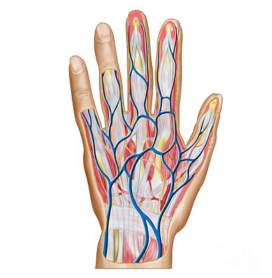 Anatomy Of Back Of Human Hand Poster