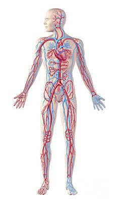 Anatomy Of Human Circulatory System Poster by Leonello Calvetti