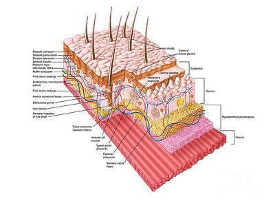Anatomy Of The Human Skin Poster by Stocktrek Images