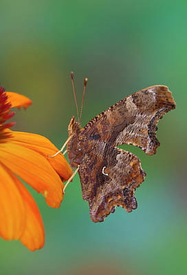 Angle Wing Butterfly On Cone Flower Poster by Darrell Gulin