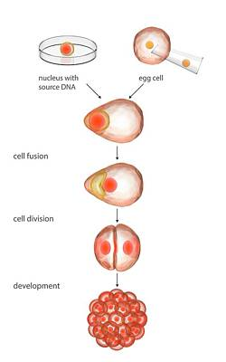 Animal Cloning Process Poster by Science Photo Library