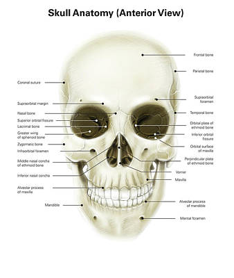 Anterior View Of Human Skull Poster by Alan Gesek