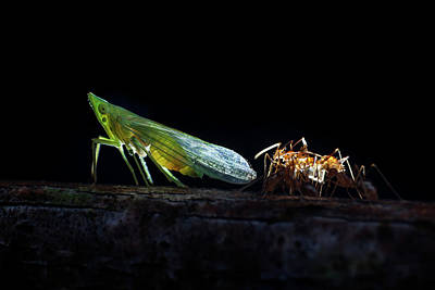Ants Milking A Planthopper Poster