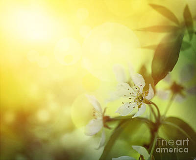 Apple Blossom Poster by Mythja  Photography