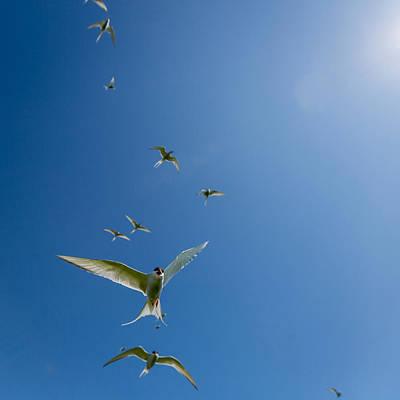 Arctic Terns Sterna Paradisaea, Flatey Poster