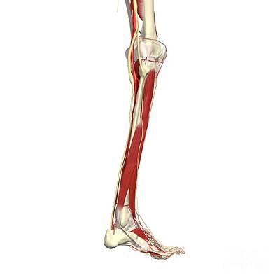 Arteries, Nerves, Muscles Of Leg Poster
