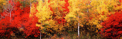 Aspen And Black Hawthorn Trees Poster by Panoramic Images
