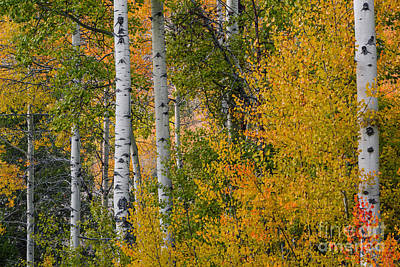 Aspen Trees In Autumn Poster by Vishwanath Bhat