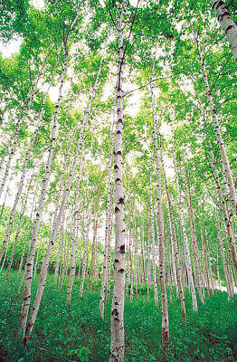 Aspen Trees, View From Below Poster by Panoramic Images