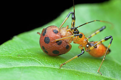 Assassin Bug Nymph Eating Ladybird Poster by Melvyn Yeo