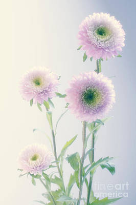 Aster Chinensis Pompon Splendid Poster by Maria Mosolova