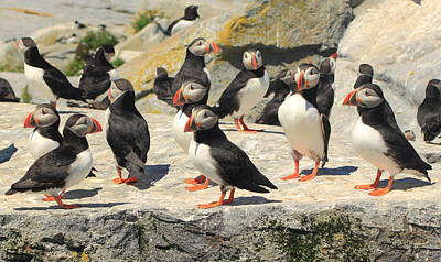 Atlantic Puffin Colony Poster by John Burk