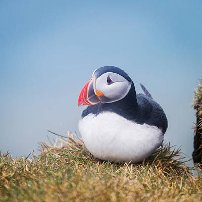 Atlantic Puffin Fratercula Arctica Poster