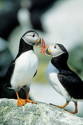 Atlantic Puffins (fratercula Arctica Poster by Richard and Susan Day