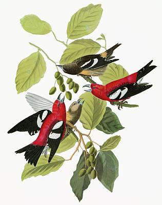 Audubon Crossbill Poster by Granger