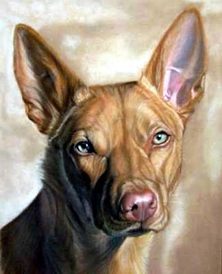 Australian Kelpie Dog Portrait Poster by Olde Time  Mercantile
