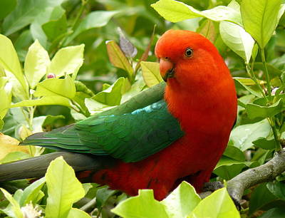 Poster featuring the photograph Australian King Parrot by Margaret Stockdale