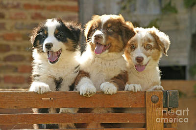 Australian Sheepdog Puppies Poster by Jean-Michel Labat