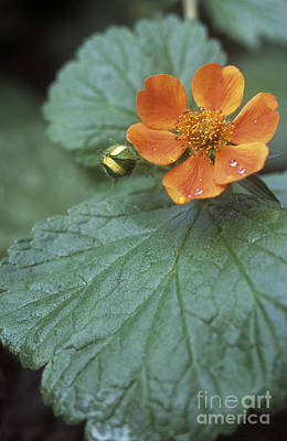 Avens Geum Georgenberg Poster by Maxine Adcock