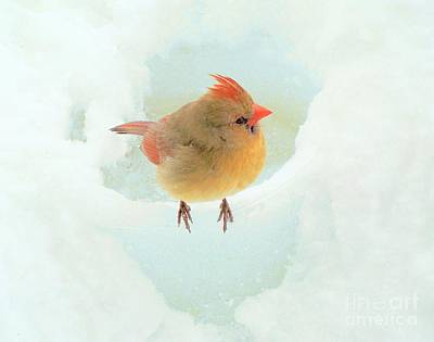Baby Female Cardinal Poster by Janette Boyd