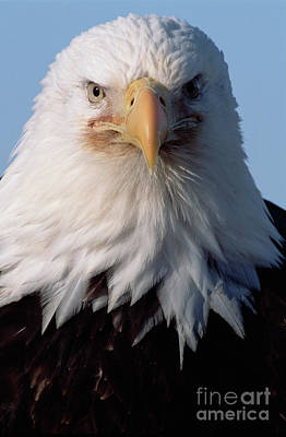 Bald Eagle Portrait Alaska Poster