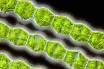 Bambusina Sp. Green Alga Poster by Gerd Guenther