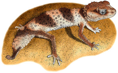 Banded Knob Tailed Gecko Poster