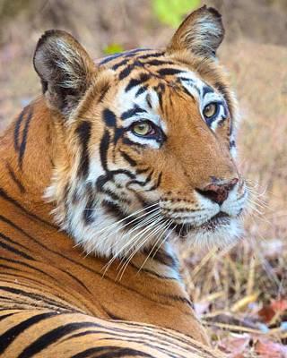 Bandhavgarh Tigeress Poster by David Beebe