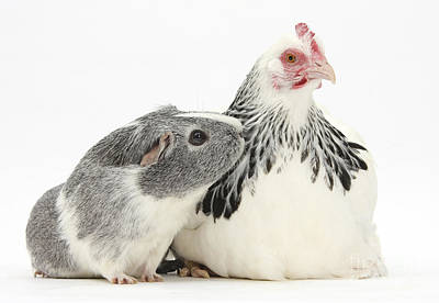 Bantam Hen And Guinea Pig Poster by Mark Taylor