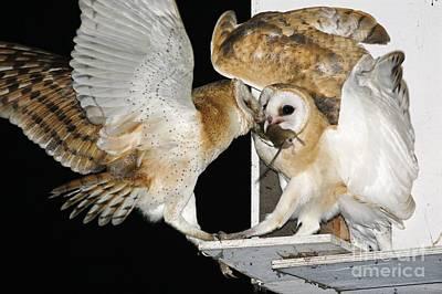 Barn Owls Feeding On A Rat Poster