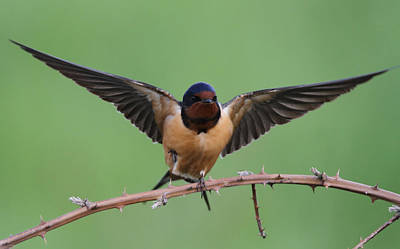 Barn Swallow Poster by Angie Vogel