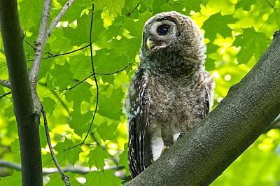 Barred Owl Fledgeling Poster by Dan Ferrin
