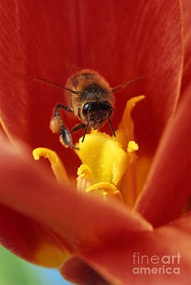 Bee Pollinating A Red Flower Poster by David Aubrey